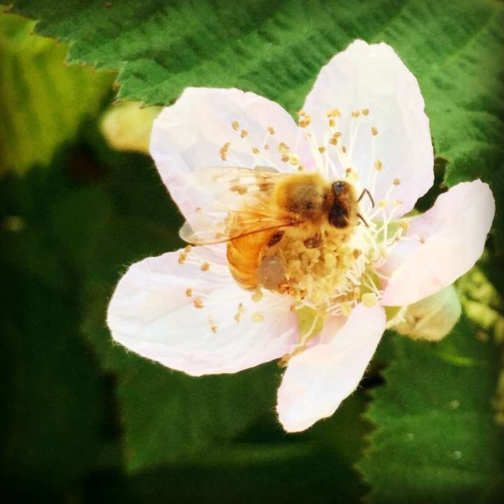 First of the blackberry flowers, about 1/2 mile from my house.  Are you one of our sweet bees?