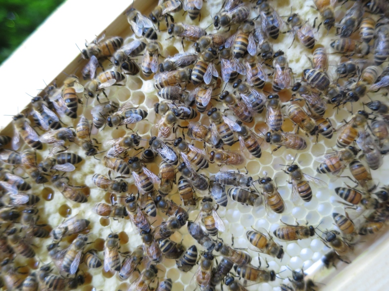 Fresh, natural honeycomb.  This has capped brood, uncapped larvae, and some empty cells that are still being built.
